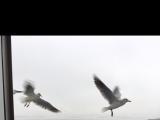遊船餵海鷗