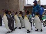 旭山動物園企鵝遊行